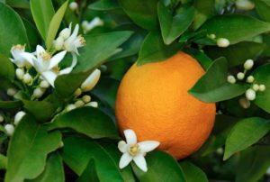 Kwiat Neroli Pomarańczy