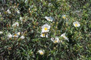 Ziele Kwiat Czystek